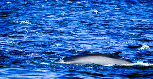 Tadoussac Канада: кит занимаясь серфингом в бурной воде Стоковые Изображения