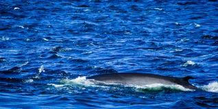 Tadoussac Canadá: ballena que practica surf en agua áspera Imagenes de archivo