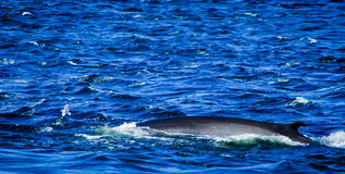 Tadoussac canada: whale surfing in rough water stock images