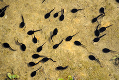 Tadpole Stock Photos