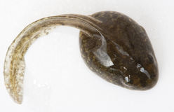 Tadpole. On a white background