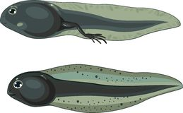 tadpole illustration stock