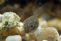 tadpole Images libres de droits