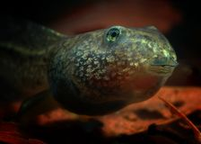 Tadpole portrait (Rana temporaria) Royalty Free Stock Images
