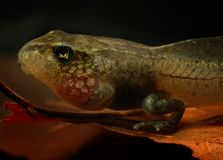 Tadpole portrait (Rana temporaria) Stock Photos