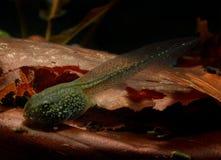Tadpole (Rana temporaria) Royalty Free Stock Image