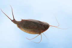 Tadpole shrimp (Triops cancriformis) Stock Photography