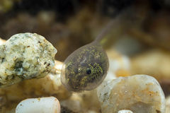 Tadpole. A small tadpole of a common frog Stock Images