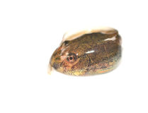 Tadpole Stock Photography