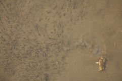 tadpoles рака стоковая фотография