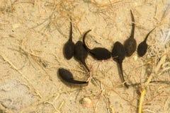 tadpoles Fotos de Stock