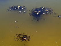 tadpoles Fotografia de Stock