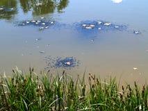 tadpoles Foto de Stock