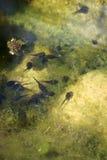 tadpoles Imagem de Stock