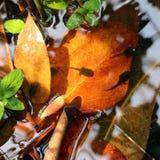 tadpoles Fotografia de Stock Royalty Free
