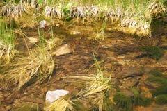 tadpoles Imagens de Stock Royalty Free