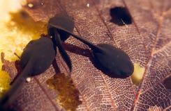 tadpoles Fotografia Stock Libera da Diritti