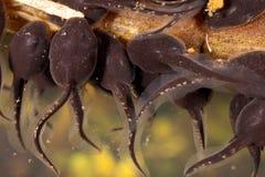 tadpoles Foto de Stock Royalty Free