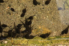 tadpoles Imagem de Stock Royalty Free