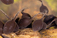 tadpoles Imagens de Stock