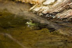 Tadpoles and Bullfrog Royalty Free Stock Image