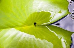 Tadpoles in einem Blatt Lizenzfreie Stockfotos