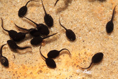 Tadpoles in the fresh water Royalty Free Stock Photo