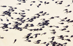 Tadpoles group in the water, natural scene Stock Photography