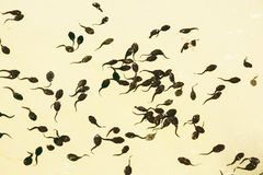 Tadpoles. In the lake. Natural background Stock Photo