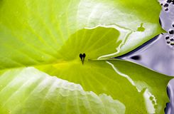 Tadpoles in a leaf. Tadpoles sit in a leaf on Koh Samui, Thailand Royalty Free Stock Photos
