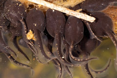 Tadpoles Stock Images