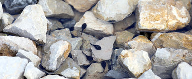 Tadpoles in the pond with stone in the mountains Royalty Free Stock Photography
