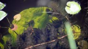 Tadpoles stock footage