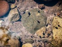 Tadpoles in Stream Royalty Free Stock Image