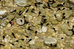 Tadpoles swimming in water Stock Photo