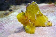 Taenianotus triacanthus dello scorfano della foglia Pesce giallo Fotografie Stock Libere da Diritti