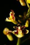 Taeniophyllum biocellatum Arkivfoton