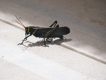 Taeniopoda eques the horse lubber grasshopper Stock Photography