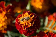 Taeniops de Eristalinus en la flor de la maravilla Foto de archivo libre de regalías