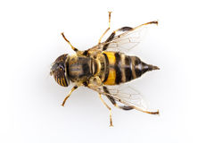 Taeniops de Eristalinus hoverfly   Imagenes de archivo