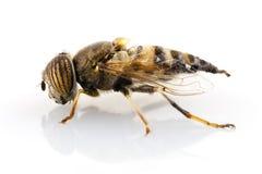 Taeniops de Eristalinus hoverfly   Imágenes de archivo libres de regalías