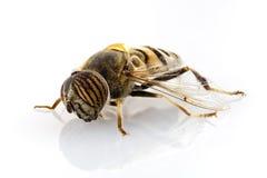 Taeniops de Eristalinus hoverfly   Imagen de archivo