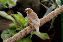 Taeniopygia guttata. Burd bird finch zebra common cure cute animal rope swingimg swinging closeup tiny small animaal brown orange green leaves leaf plants stock photography