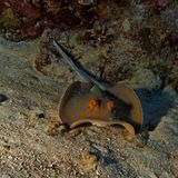 Taeniura lymma - Bleu spotted ray - Red Sea Royalty Free Stock Photos
