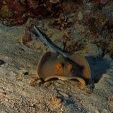 Taeniura lymma - Bleu spotted ray - Red Sea Royalty Free Stock Photos