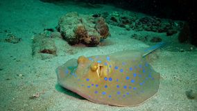 Taeniura lymma Bluespotted ribbontail ray lies on sand or floats among corals on a reef in the Red Sea, Marsa Alam. Egypt stock video