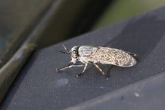 Tafano della mosca Fotografie Stock