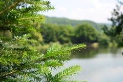 Tafsa trädet Royaltyfri Foto