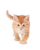 tafsar den stora orangen för den gulliga kattungen Royaltyfri Fotografi