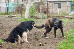 Tafsar stor tillfällig hund två med lyftt anseende på jordningen Arkivfoto